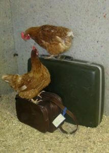 chickens on suitcases