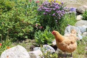 chicken in the garden