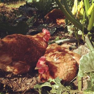 chickens in the shade