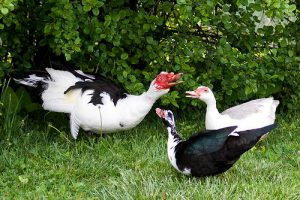 muscovy duck trio