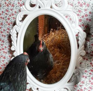 chicken in the mirror